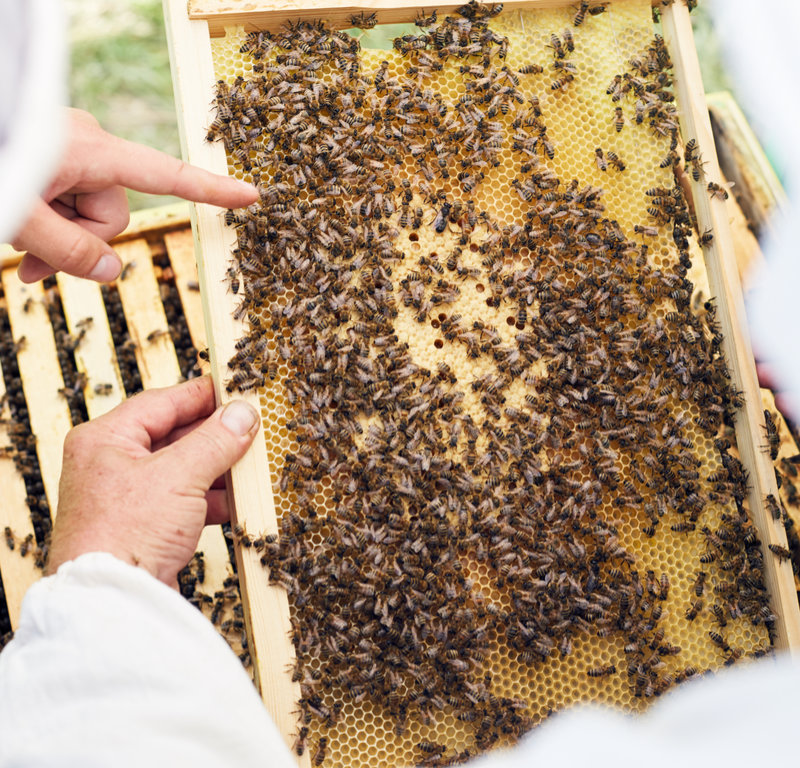 Close up of two unrecognizable beekeepers looking at bee swarm holding  hive frame filled with honey
