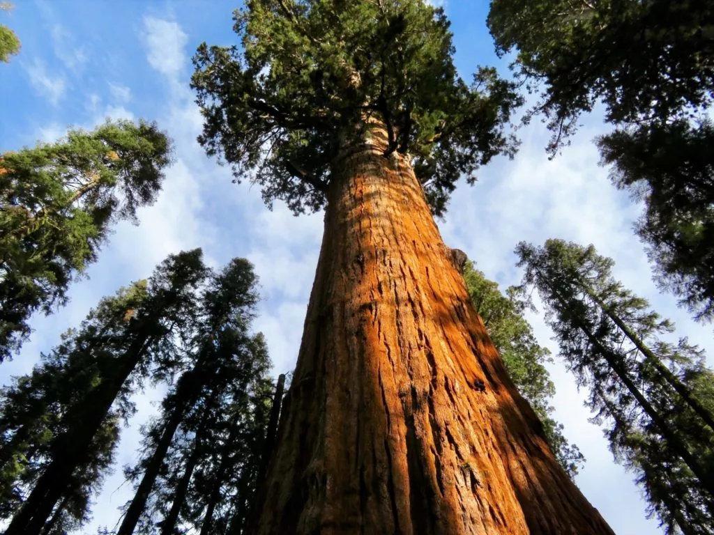 Fully grown California Redwoods